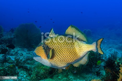 Titan Triggerfish with its trigger extended on a tropical coral reef.