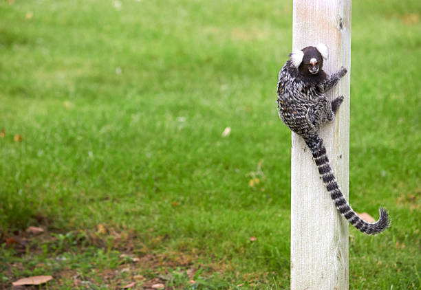 Titi A little titi common marmoset stock pictures, royalty-free photos & images