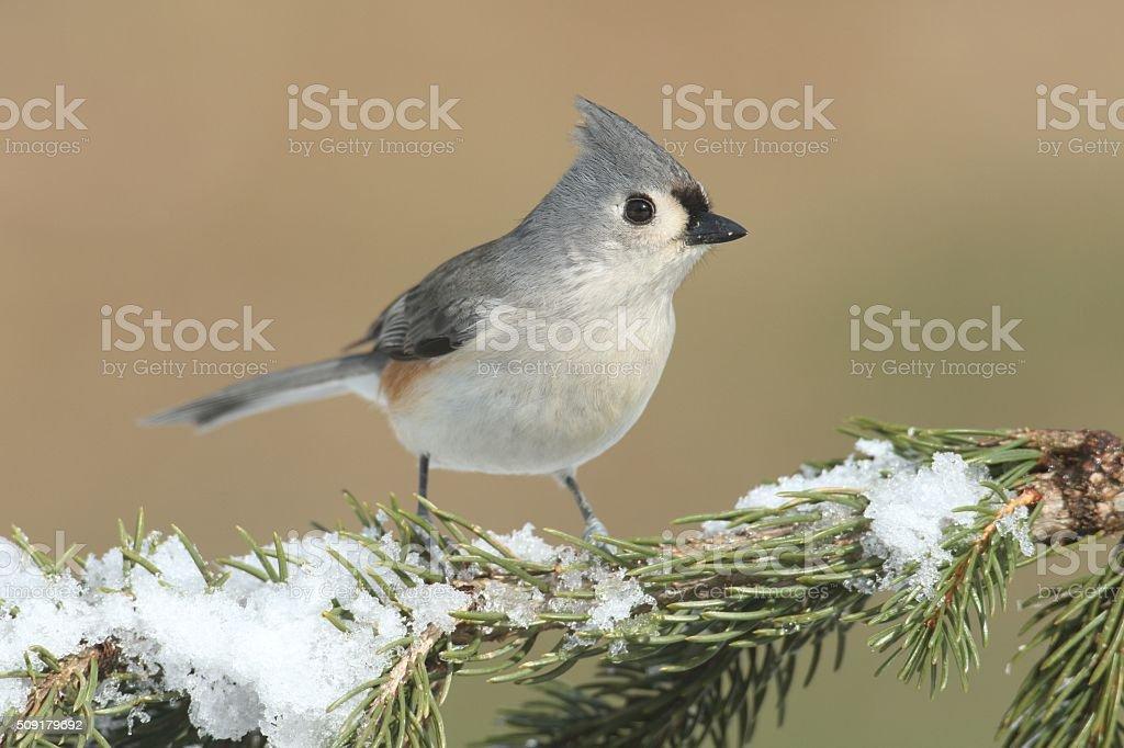 Titmouse in Snow stock photo