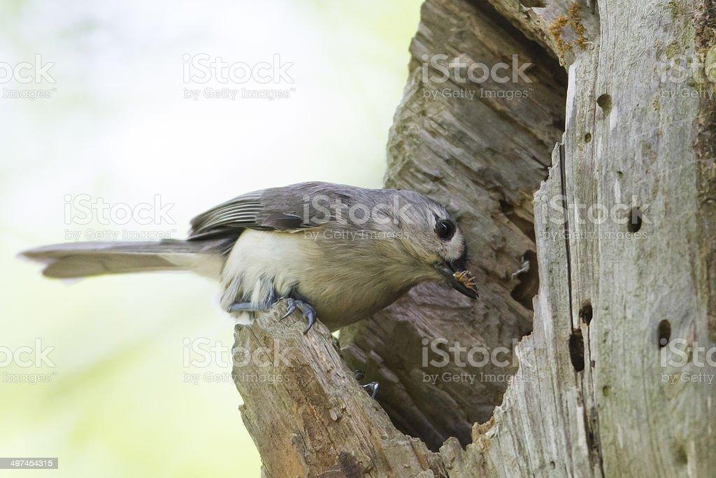 Titmouse Nest stock photo