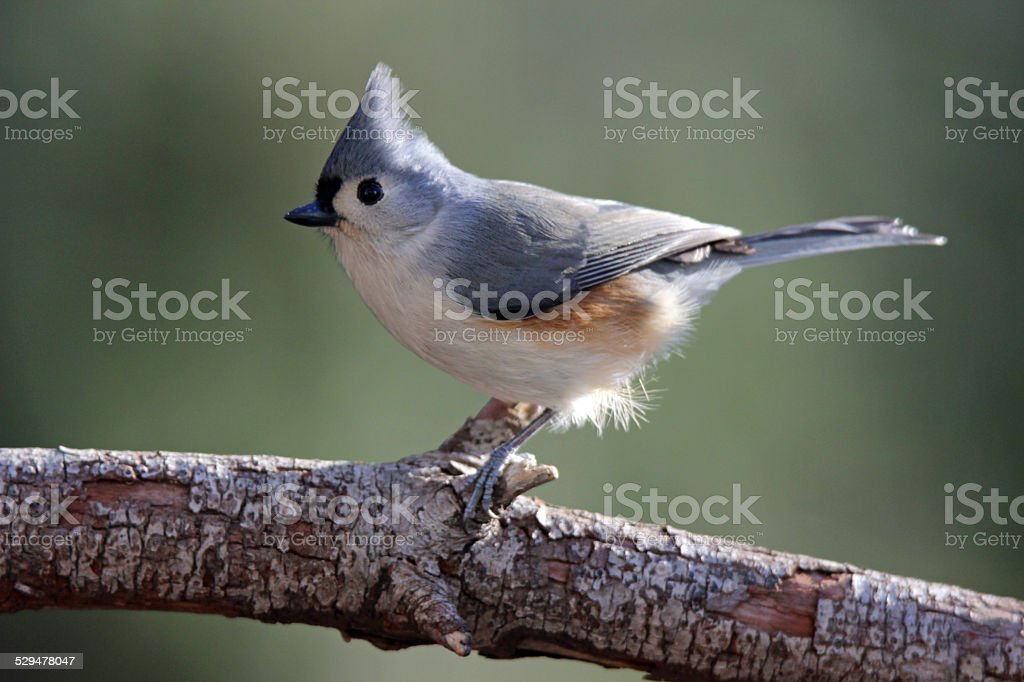 Titmouse on a Branch stock photo