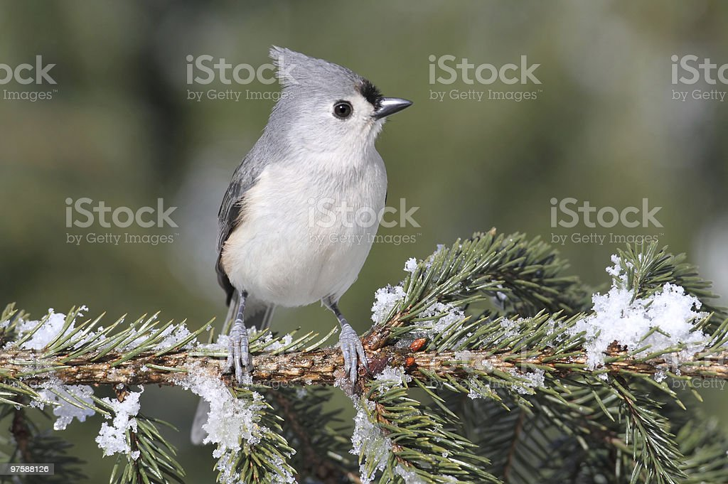 Titmouse On A Snow-covered Branch royaltyfri bildbanksbilder