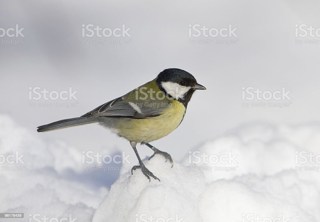 Titmouse on snow royalty-free stock photo
