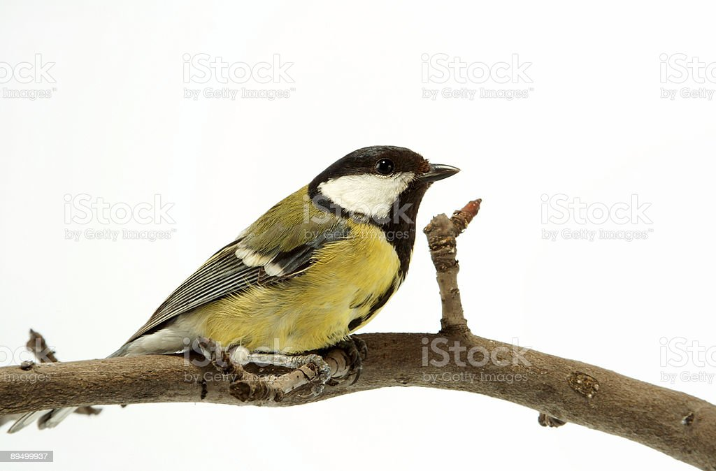 titmouse royalty free stockfoto