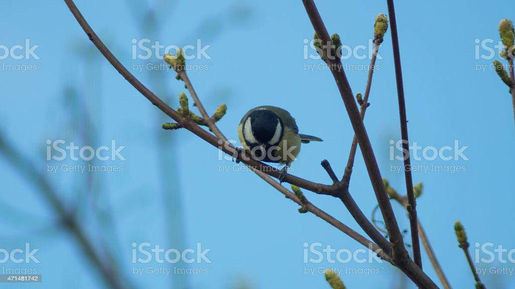 Titmouse sitting on the three branch watching down stock photo