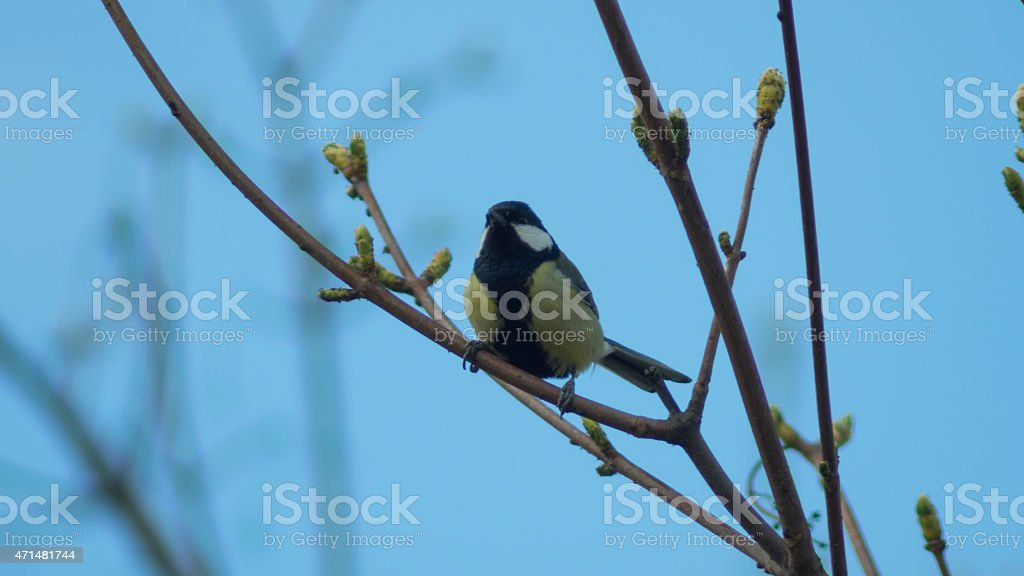 Titmouse sitting on the tree branch singing stock photo