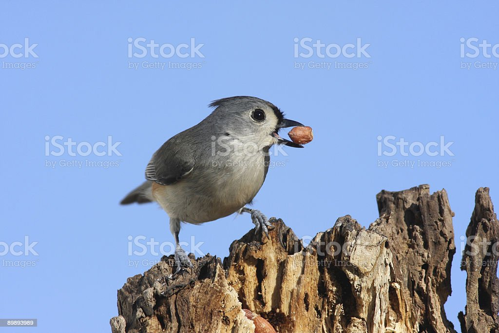 Titmouse With A Peanut royalty-free stock photo
