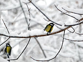 Tomtits sits on frozen tree branch in snowy winter forest