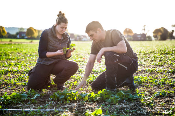 To calculate weeds, two farmers kneels in a rape field and measure with a folding ruler stock photo