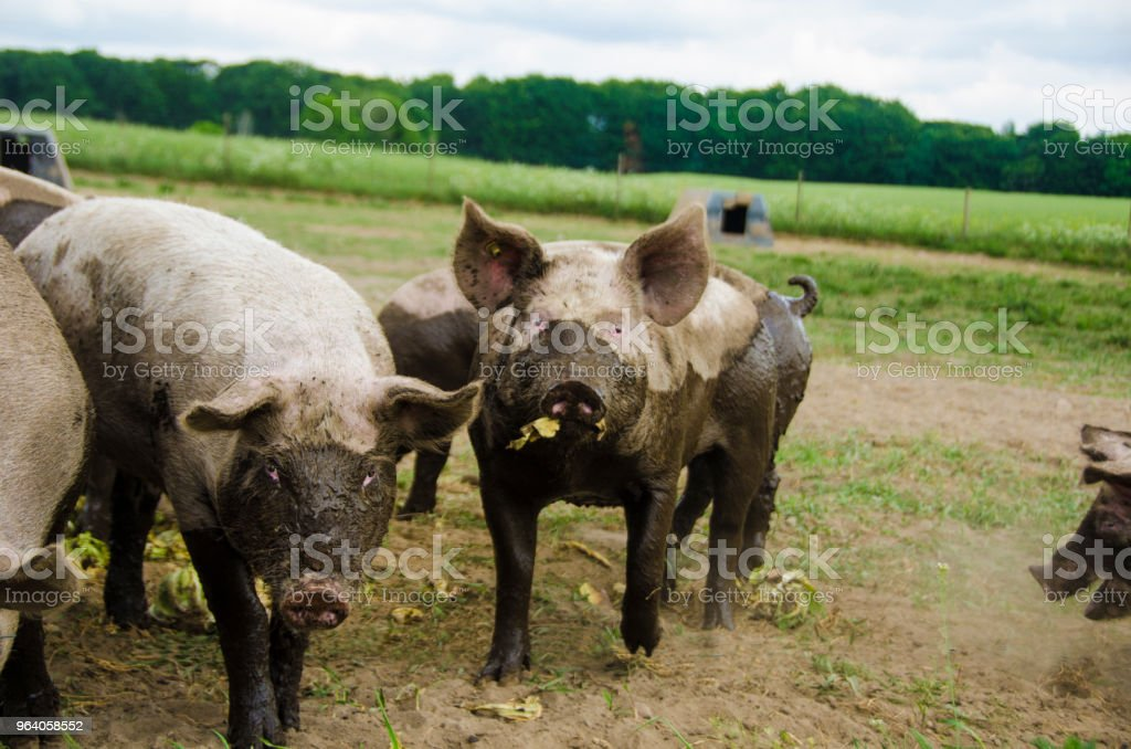 To pigs with mud on their body, eating cabbage and looking into the camera - Royalty-free Agriculture Stock Photo