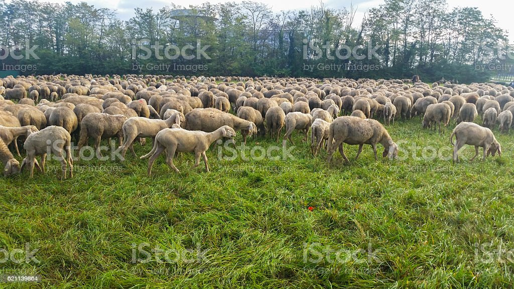 to scare away a sheep to lose them all – Foto