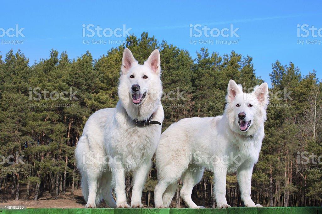 To white Swiss Shepherds stock photo
