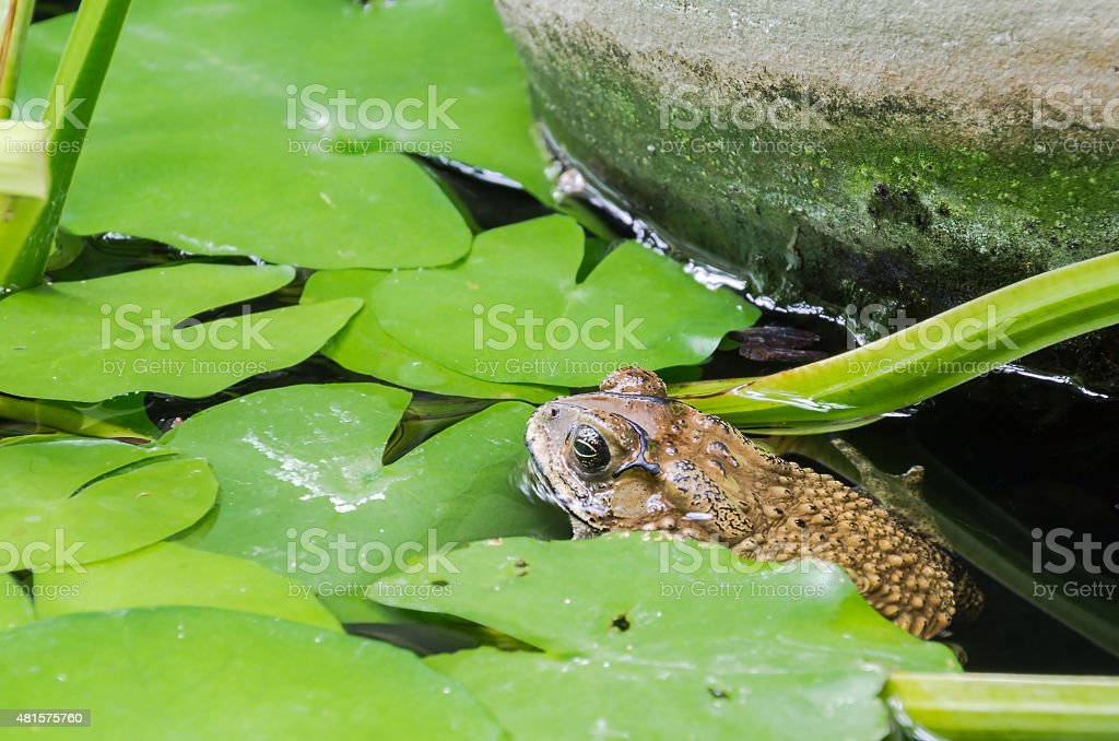 Toad, amphibian in Asia. stock photo