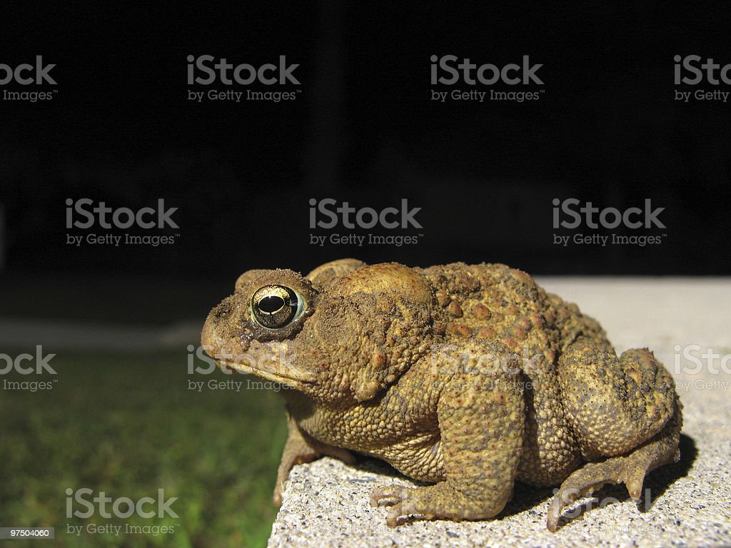 Toad at night royalty-free stock photo