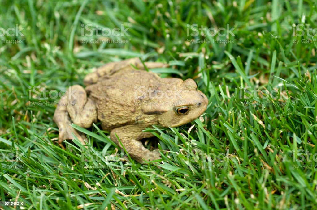 Toad; Bufo bufo; Common Toad stock photo