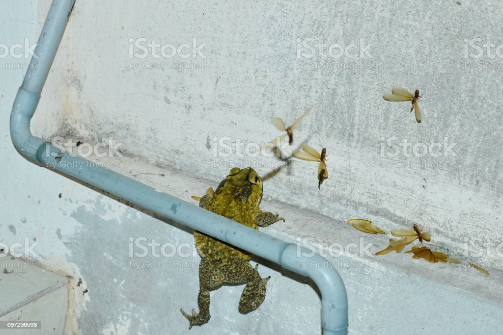toad climbing to feeding mayfly on house wall in night stock photo