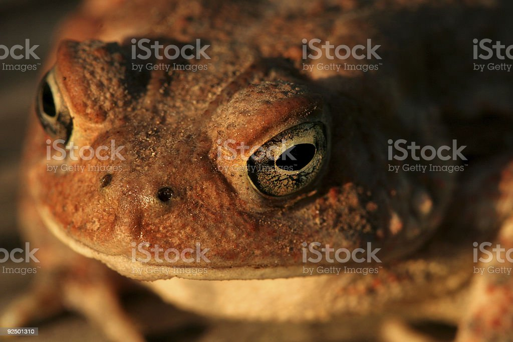Toad Face royalty-free stock photo