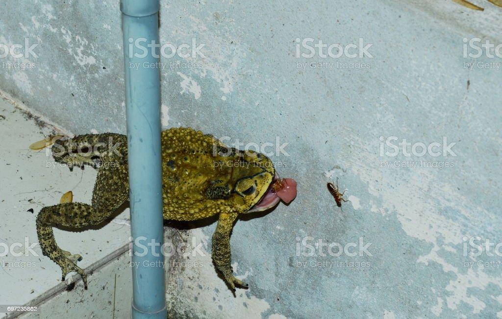 toad feeding mayfly on house wall in night stock photo