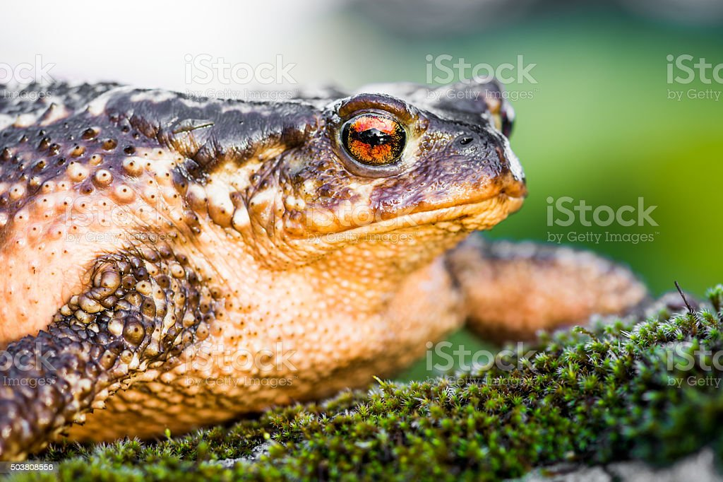 Toad frog on grass with big eyes stock photo