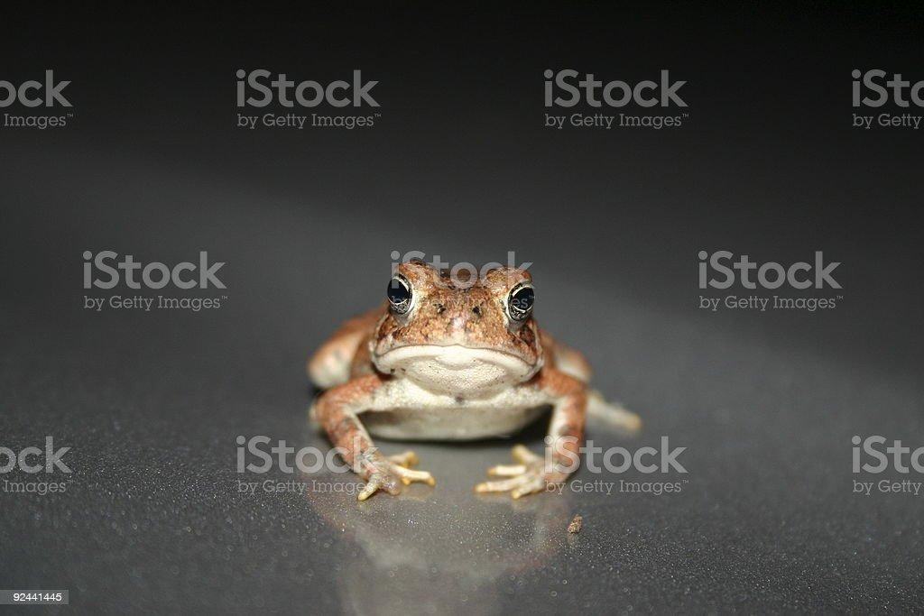 Toad - Head-on royalty-free stock photo