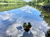 A toad peeks out of the water of Trout Pond in Roscoe, New York.