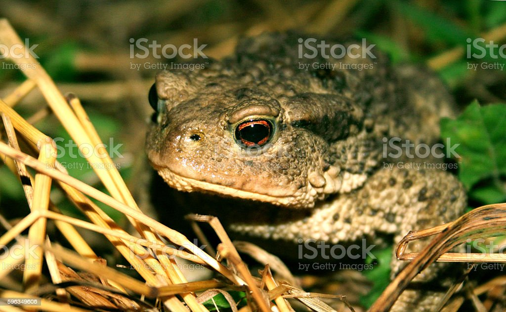 Toad in the straw macro royalty-free stock photo
