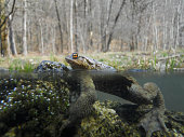 Toad in water in the reproductive period