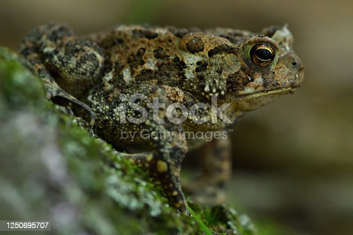 Close-up of American toad on tree trunk in New England woods, in natural light