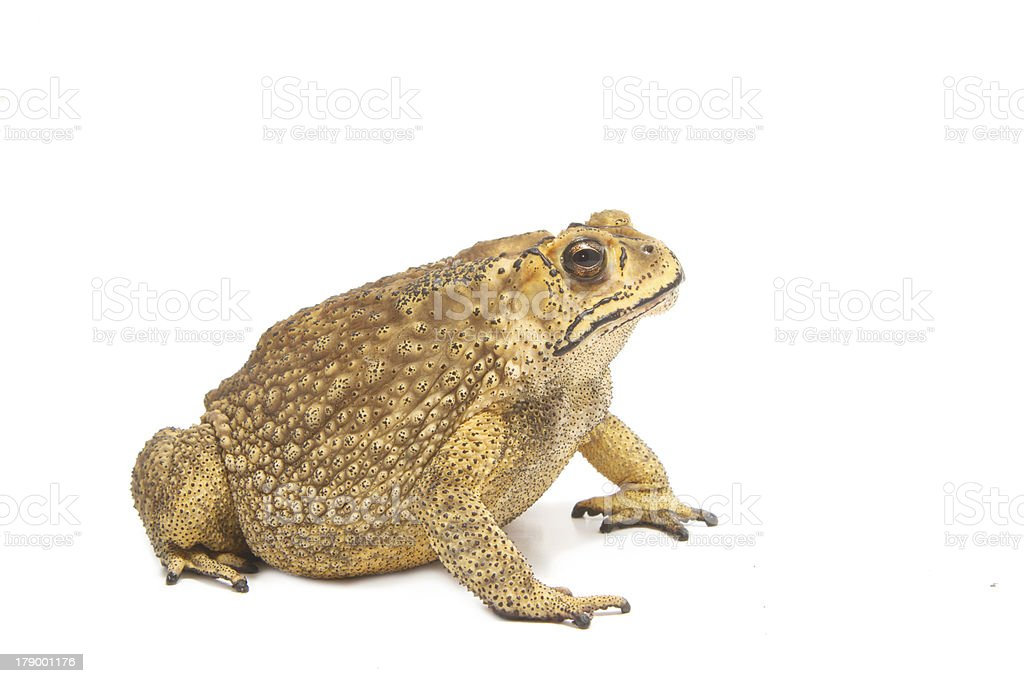 toad isolate stock photo