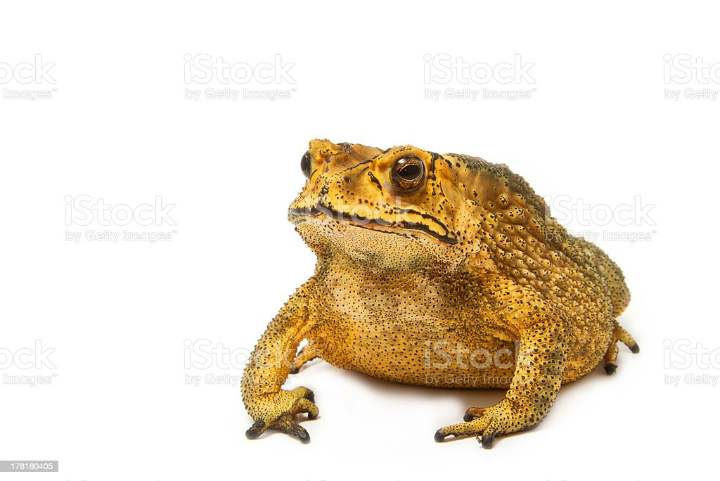 Toad isolated on white background royalty-free stock photo