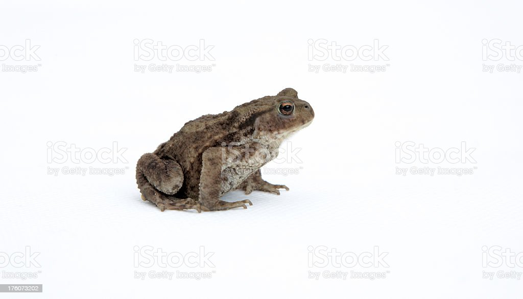 Toad isolated on white royalty-free stock photo