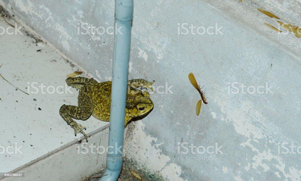 toad locked on target mayfly to feeding on wall stock photo
