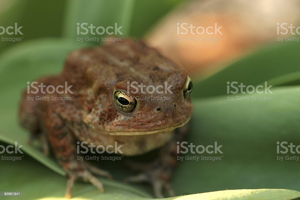Toad on a Leaf royalty-free stock photo