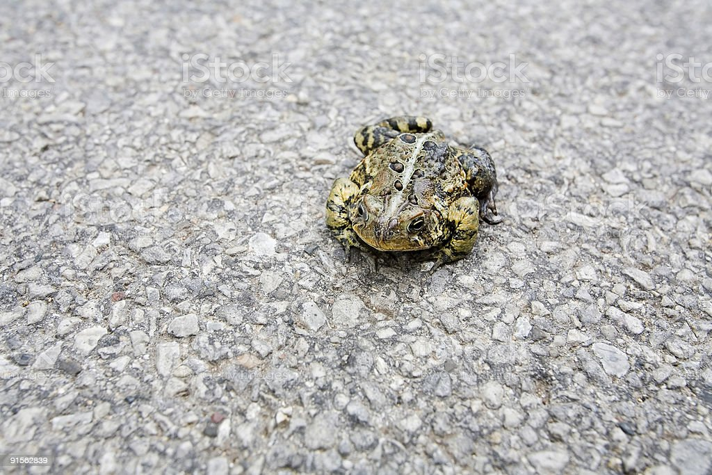 Toad on Road royalty-free stock photo
