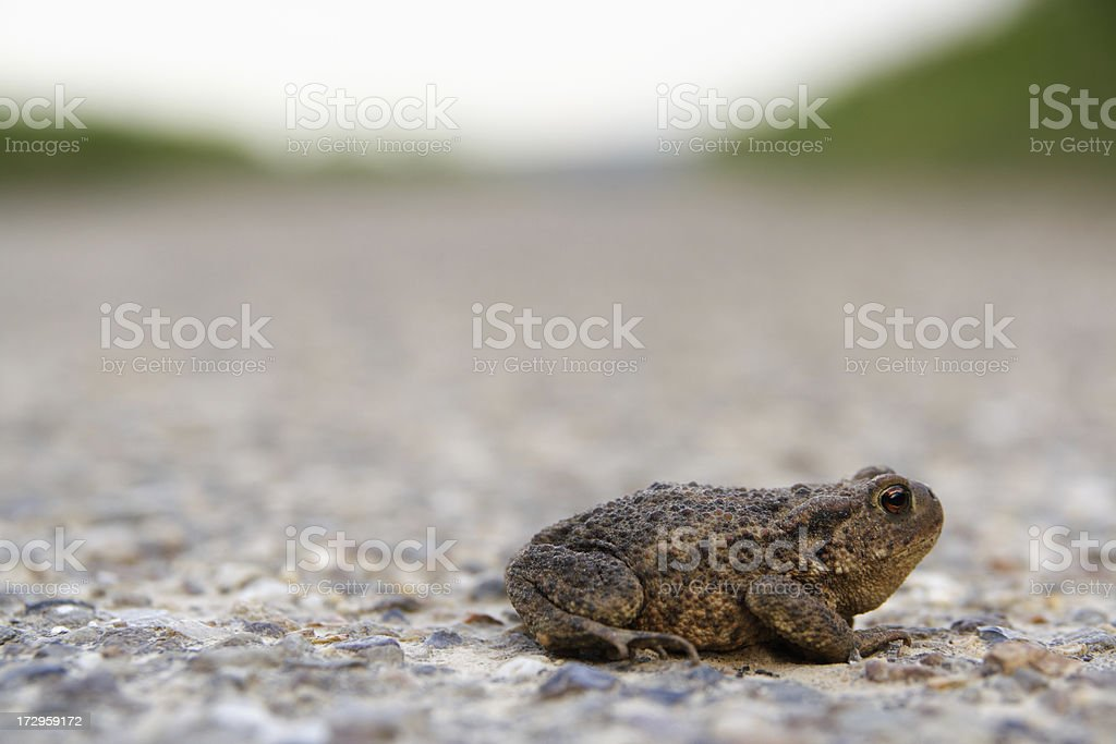toad on the road stock photo more pictures of amphibian istock
