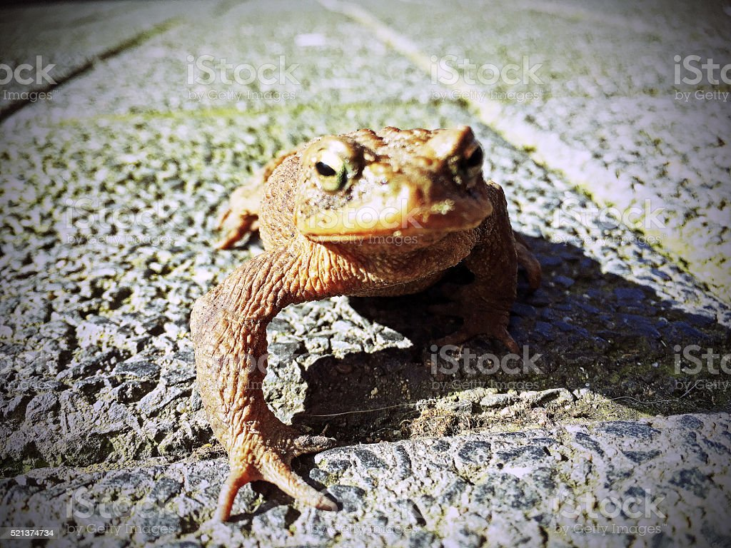 toad on the road stock photo istock