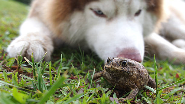 toad swell on the lawn - croak stock pictures, royalty-free photos & images