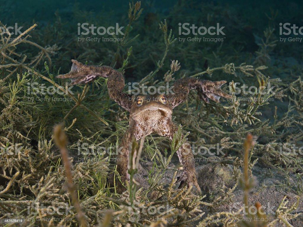Toad underwater (Bufo bufo) Vierwaldstättersee Switzerland stock photo
