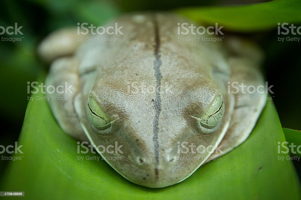 Sapo-Ferreiro ( Hypsiboas faber ) stock photo