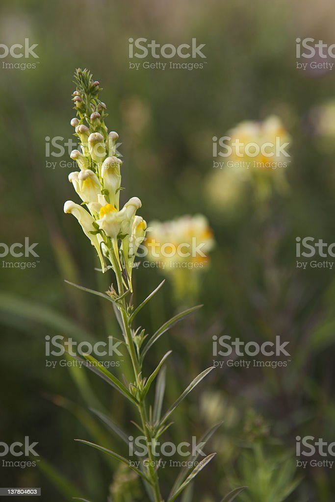 Toadflax Weed stock photo