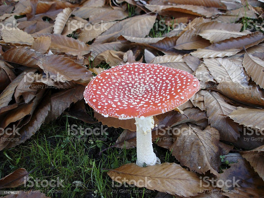 Toadstool , Fly Agaric - Red Poison Mushroom in autumn royalty-free stock photo