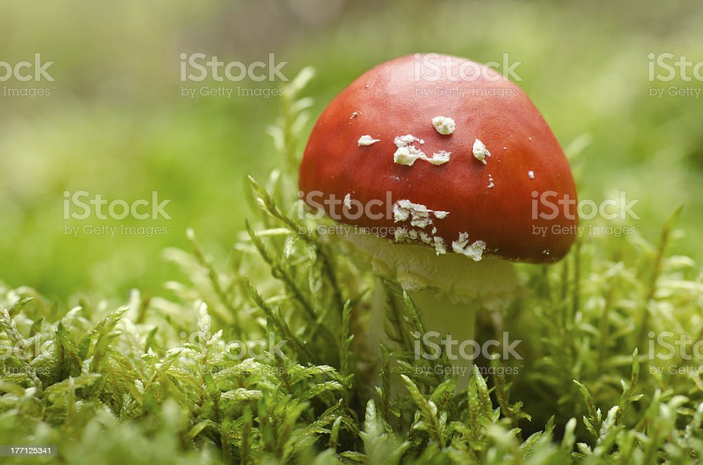 Toadstool in moss (Amanita muscaria) stock photo