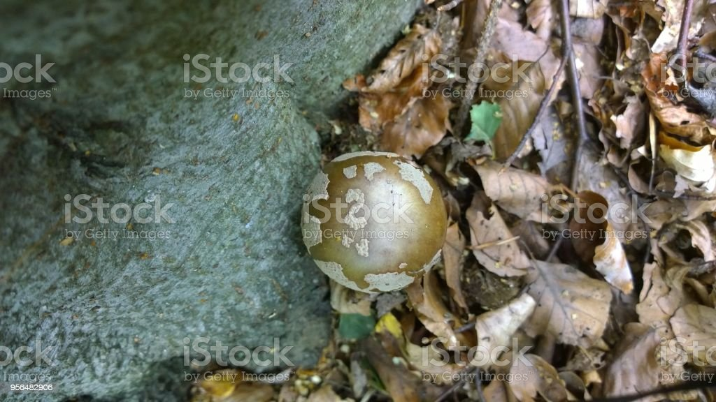 Toadstool mushroom in the forest. stock photo