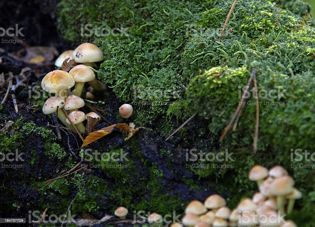 Toadstool on a moss royalty-free stock photo