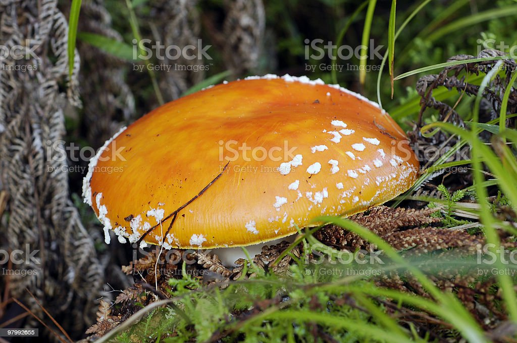 Toadstool royalty-free stock photo