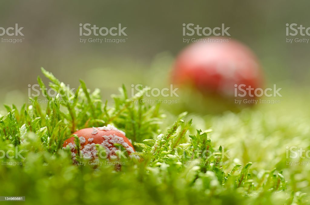 Toadstools in moss (Amanita muscaria) stock photo