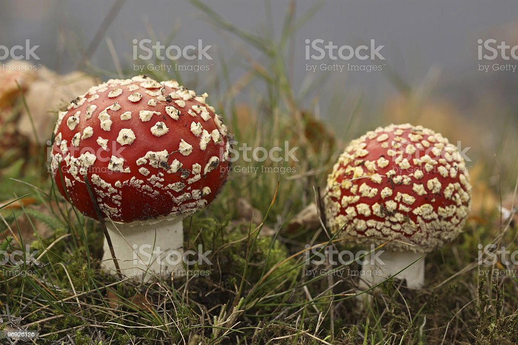 Toadstools in the grass royalty-free stock photo