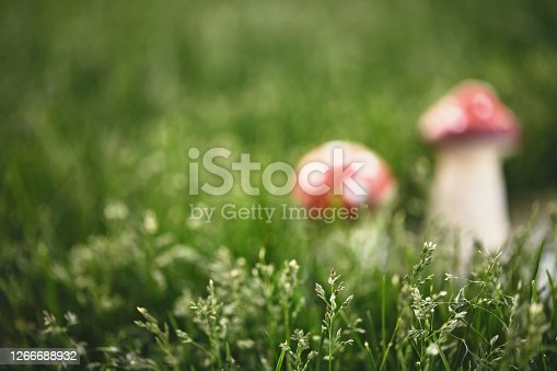 Toadstools in wild grass