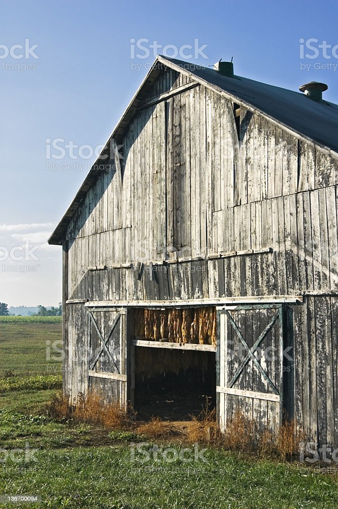 Tobacco Barn iwth Hanging Crop in Morning Light royalty-free stock photo