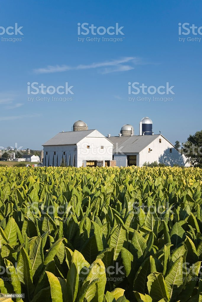 Tobacco Crop in Field, Lancaster County Agriculture, Pennsylvania stock photo